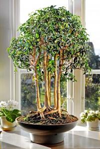 Ficus benj dunge låg utvald