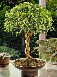 Ficus flätserie 4