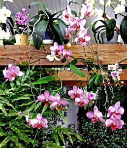 1-phalaenopsis-lagzx