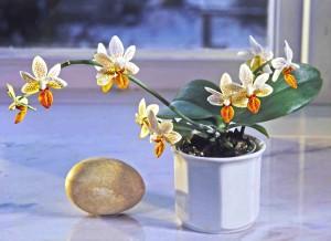 Phalaenopsis x 'Mini Mark' lag