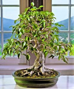 Ficus benjamina bonsai lag