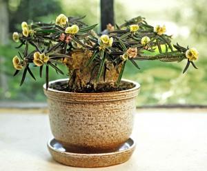 Euphorbia cylindrifolia ung lag