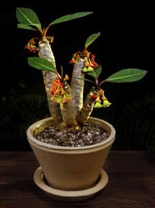 Euphorbia milottii lag