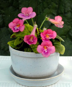 Sinningia x mini 'Country Pink' lag