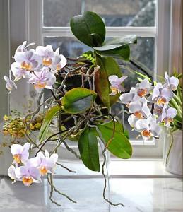 Phalaenopsis x med keikis