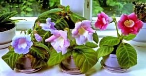 Sinningia forsta blomn lag