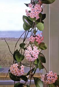 2. Hoya carnosa