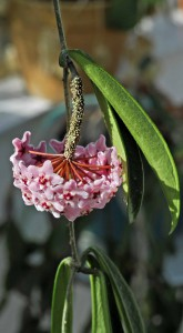 Hoya x blomsporre