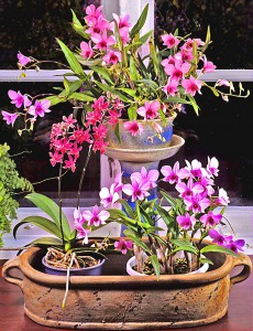 Dendrobium phalaenopsis + Doritinopsis lag