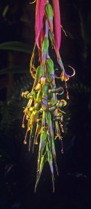 Billbergia nutans 2 lag