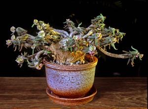 euphorbia-cylindrifolia-mellan-lag