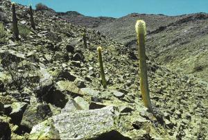 Namibia. Pachypodium namaquanum.