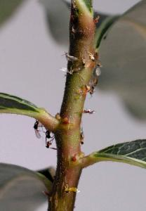 Brachychiton populneus. Insektsfångare.