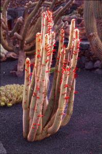 Cleistocactus straussii