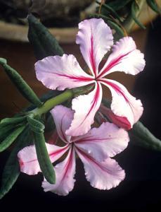 Pachypodium succulentum, ev. Ökenstjärna.