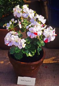 Pelargonium x 'White Eggshell'