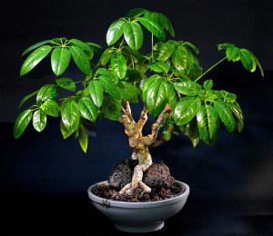 Schefflera arboricola I all sin prakt.