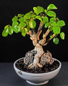 Schefflera arboricola.  Ny tillväxt.
