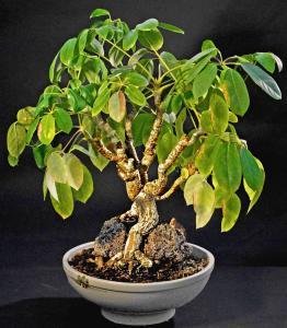 Schefflera arboricola.  Hög tid för beskärning.