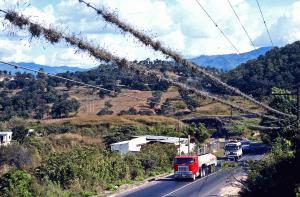 Tillandsia på luftledning. Guatemala