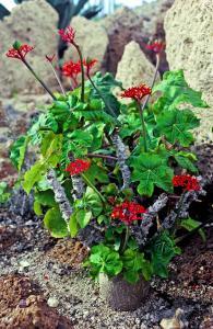 Jatropha podagrica Costa Rica