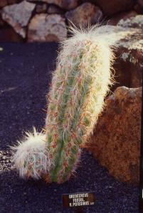 Oreocereus fossulatus