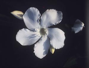 Nerium oleander.