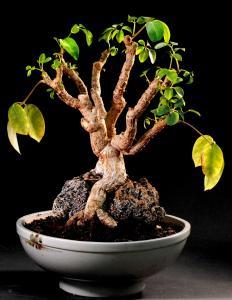 Schefflera arboricola Nya skott.